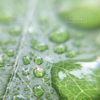 雨,緑,葉っぱ,水滴,雫,初夏,梅雨,6月,雨粒,雨の日