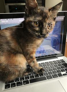 猫,パソコン,PC,パソコン作業,PC作業,パソコン猫,PC猫