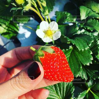 花,赤,白い花,いちご,苺,フルーツ,いちご狩り,みどり,赤ネイル