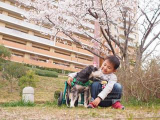 桜の写真・画像素材[452413]