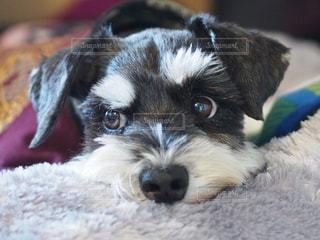 ベッドの上に横たわる犬 - No.989297