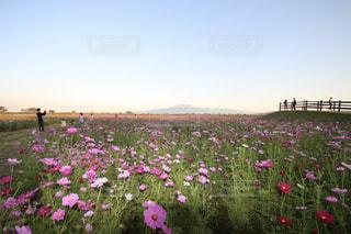 フィールドにピンクの花の写真・画像素材[1811069]