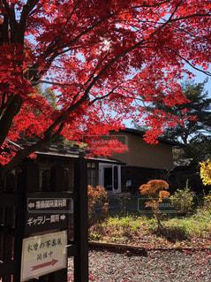 自然,紅葉,木,屋外,樹木