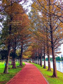 自然,風景,公園,秋,紅葉,埼玉県,メタセコイア並木,みさと公園,三郷市