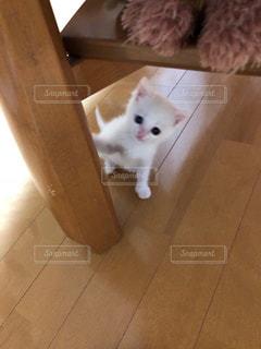 猫,白,子猫