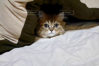 こたつの中の猫の写真・画像素材[1764891]