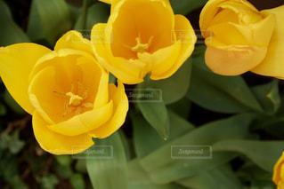 黄色いチューリップの写真・画像素材[1859917]