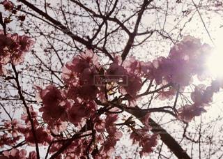 桜の写真・画像素材[1859923]