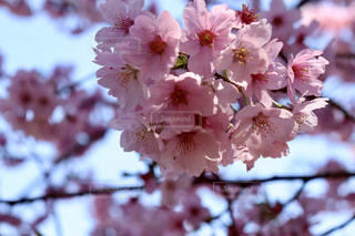 桜の写真・画像素材[1865102]