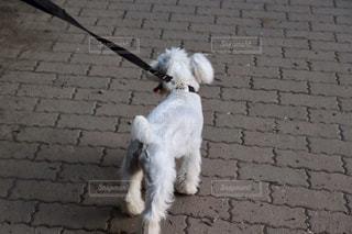 散歩中のワンちゃんの写真・画像素材[2006735]