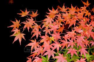 自然,公園,秋,紅葉,屋外,川,もみじ,観光,奈良,橿原神宮