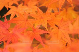 自然,公園,秋,紅葉,屋外,森,もみじ,奈良,橿原神宮
