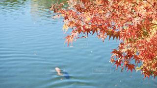 自然,秋,紅葉,木,赤,もみじ,池,橙,愛知県,名古屋市,白鳥庭園,鯉,熱田区