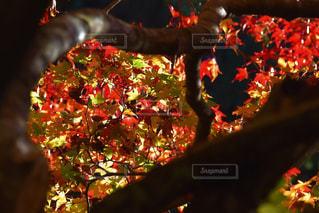 自然,秋,紅葉,もみじ,岐阜県,横谷渓谷,げろし
