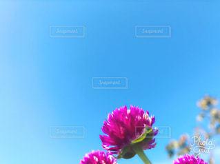 秋空にピンク色♡の写真・画像素材[1604441]