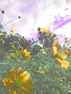 秋空にコスモス♡の写真・画像素材[1604463]