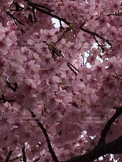 花,春,ピンク,樹木,草木