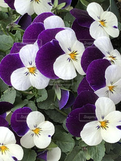 紫,鮮やか,草木