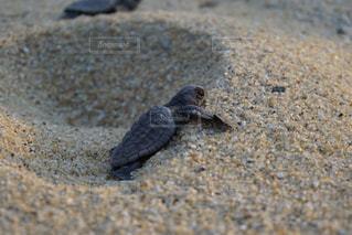 砂浜,カメ,ポジティブ,前向き,子ガメ
