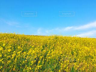 菜の花満開の写真・画像素材[1130543]