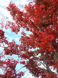 秋,紅葉,赤,景色,美しい,昭和記念公園,立川
