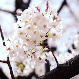 花,春,桜,ピンク,景色,草木,桜の花,さくら
