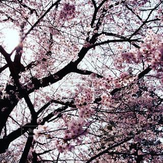 風景,空,花,春,桜,屋外,ピンク,景色,樹木,草木,桜の花,さくら
