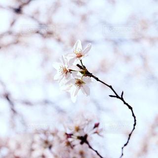 花,春,桜,ピンク,枝,樹木,草木,桜の花,さくら