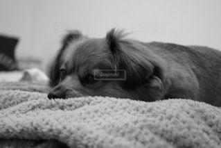 ベッドの上に横たわる犬の写真・画像素材[1623012]
