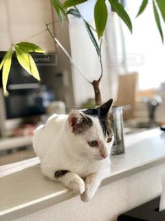 猫,動物,白,黒,ねこ,ペット,人物,座る,ネコ