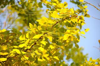 自然,秋,紅葉,木,イチョウ