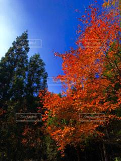 秋,紅葉,緑,山,滋賀県,カエデ,永源寺