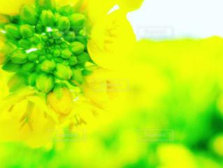緑,黄色,菜の花,アップ,ボケ,淡路島,接写,花さじき