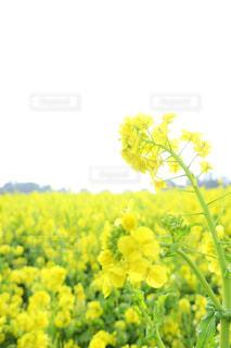 緑,黄色,菜の花,淡路島,接写,花さじき