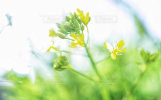 黄色,水菜,滋賀県,もうすぐ春,菜の花?,水菜の花