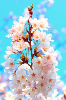 Sakuraの写真・画像素材[1946235]