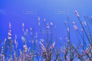 天を突く梅の写真・画像素材[4404782]