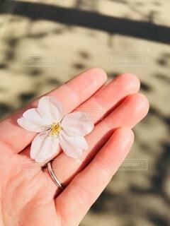 春,桜,散歩,季節,花びら,手のひら,手持ち,人物,ポートレート,出会い,ライフスタイル,手元,訪れ