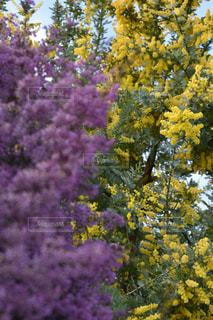 自然,花,ピンク,植物,黄色,鮮やか,ミモザ,イエロー,カラー,色,黄,yellow,ジャノメエリカ