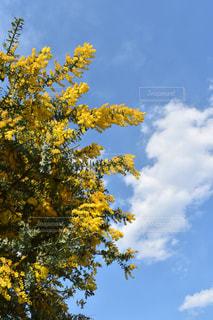自然,花,植物,黄色,鮮やか,ミモザ,イエロー,カラー,色,黄,yellow