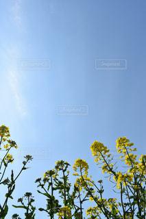 自然,空,花,植物,黄色,菜の花,鮮やか,イエロー,カラー,色,黄,yellow,菜花