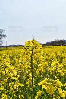 自然,花,植物,黄色,菜の花,鮮やか,イエロー,カラー,色,黄,yellow,菜花