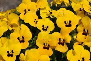 自然,花,植物,黄色,鮮やか,イエロー,パンジー,カラー,色,黄,yellow