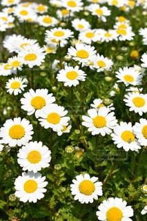 自然,花,植物,白,黄色,鮮やか,デイジー,イエロー,カラー,色,黄,yellow,白と黄,白黄