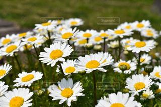 自然,花,植物,白,黄色,鮮やか,デイジー,イエロー,白色,カラー,色,黄,コントラスト,yellow,白と黄,白黄