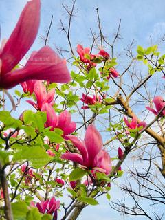 空,ピンク,晴れ,ガーデニング,未来,夢,ピンク色,木蓮,ポジティブ,草木,目標,モクレン,お天気,ガーデン,可能性,咲く,上を向いて