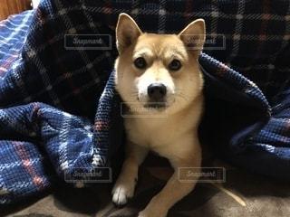 ソファの上に座っている犬の写真・画像素材[1745916]