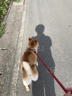 犬,春,屋外,散歩,道路,影,草,後姿,柴犬,尻尾,人影,豆柴,日中,4月,リード