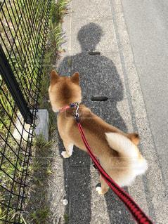 犬,春,屋外,散歩,道路,影,草,後姿,フェンス,柴犬,尻尾,人影,豆柴,日中,4月,リード