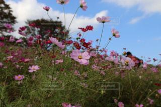 空,公園,花,秋,ピンク,コスモス,葉,おしゃれ,インスタ映え